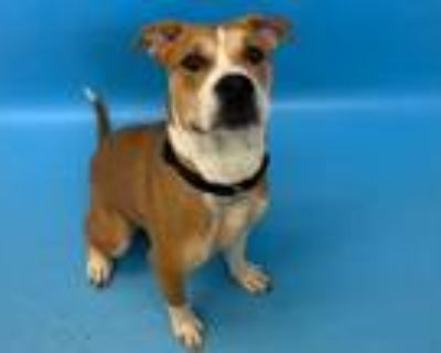 Adopt Cheesecake a Pit Bull Terrier, Mixed Breed