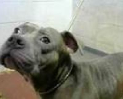 Adopt BUNNY a Pit Bull Terrier