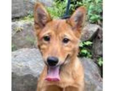 Adopt Gamora IN LA!!! a Red/Golden/Orange/Chestnut Jindo / Spitz (Unknown Type