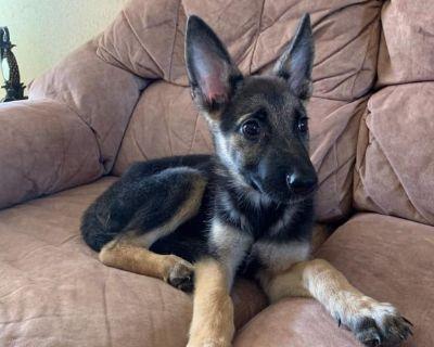 german shepherd  puppy  el paso texas