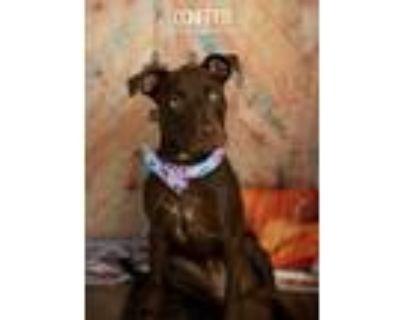 Adopt Confetti a Brown/Chocolate Labrador Retriever dog in Littleton