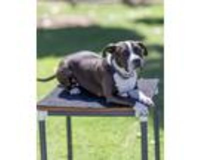Adopt Sweet Pea a Black - with White American Pit Bull Terrier / Mixed dog in