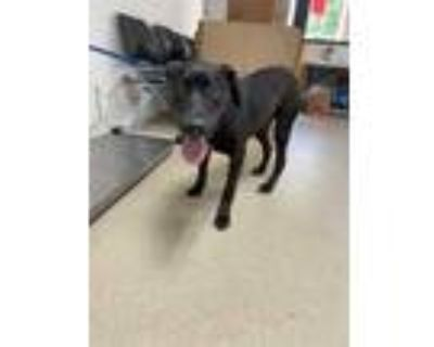 Adopt 48003630 a Black Retriever (Unknown Type) / Mixed dog in Fort Worth