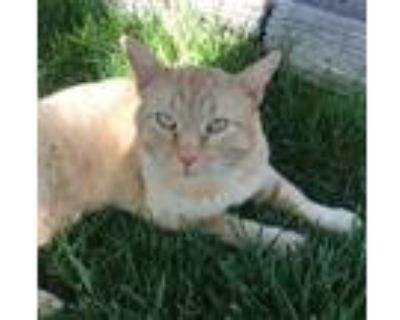 Adopt Buddy a Domestic Shorthair / Mixed (short coat) cat in Cambria