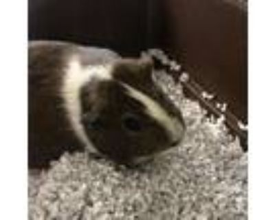 Adopt Money a Guinea Pig small animal in Waldorf, MD (31655661)
