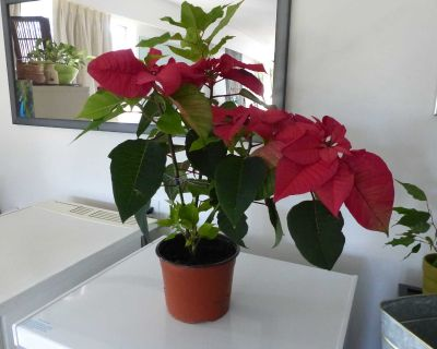 Large healthy pointsietta lots of new growth and will keep growing till Dec when all top leaves will turn red.