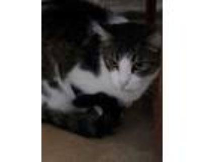 Adopt Albert a Gray or Blue Domestic Shorthair / Domestic Shorthair / Mixed cat