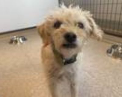Adopt Moby a Poodle, Terrier