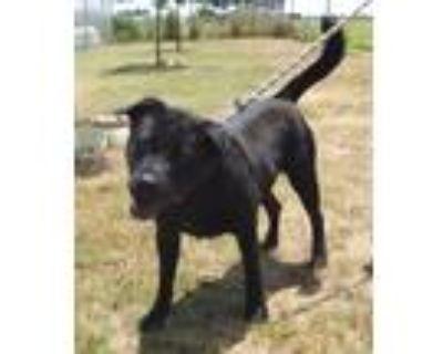 Adopt Delilah a Black Labrador Retriever / Mixed dog in Amarillo, TX (8803511)