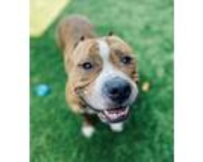 Adopt Kit a Mixed Breed (Medium) / Pit Bull Terrier / Mixed dog in Portsmouth