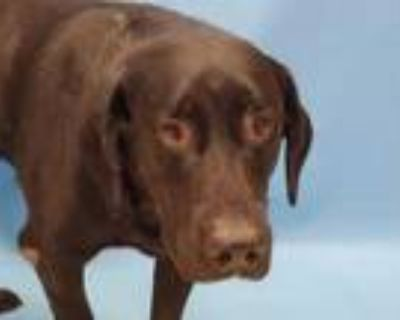 Adopt Patches a Black Labrador Retriever / Mixed dog in Coon Rapids