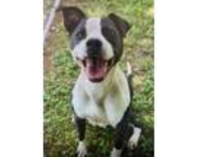Adopt Macie a Black - with White American Staffordshire Terrier / Pit Bull