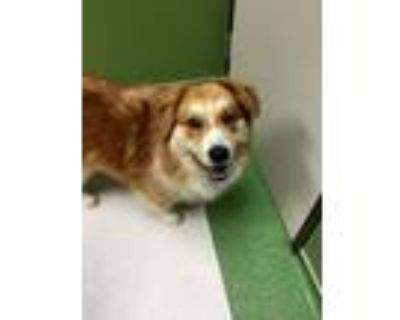 Adopt Allie, 40 pounds, two years old a Collie, Chow Chow