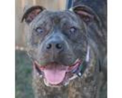 Adopt Chopper a Boxer dog in Denver, CO (32605684)
