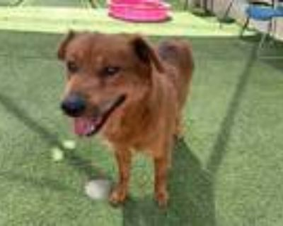 Adopt JARRETT a Red/Golden/Orange/Chestnut - with White Chow Chow / Mixed dog in