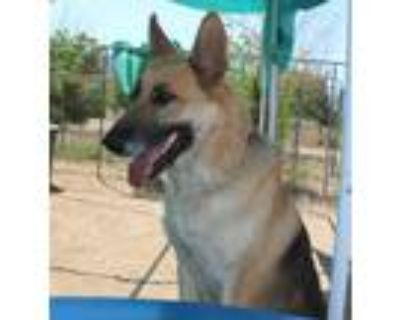 Adopt Cagney a German Shepherd Dog / Mixed dog in Apple Valley, CA (31490551)