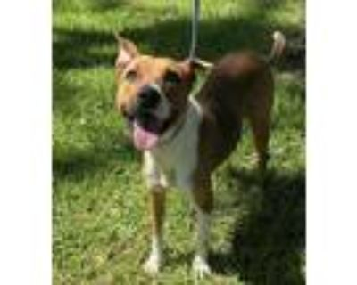 Adopt 061721 a Brown/Chocolate American Pit Bull Terrier / Mixed dog in Baton