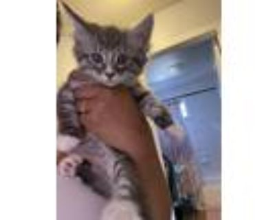 Adopt Bento a Gray, Blue or Silver Tabby Maine Coon / Mixed (medium coat) cat in