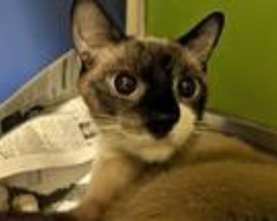 Adopt Vina Walleen a White Snowshoe / Domestic Shorthair / Mixed cat in