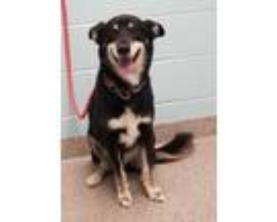 Adopt August a Black Shepherd (Unknown Type) / Mixed dog in Noblesville