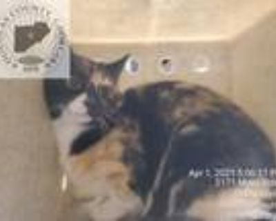 Adopt Star Tnr a Calico or Dilute Calico Domestic Shorthair (short coat) cat in