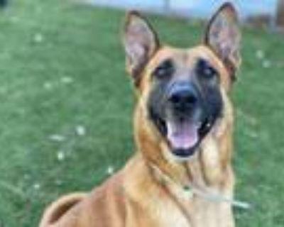 Adopt GOLDIE a Belgian Shepherd / Malinois