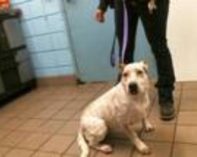 Adopt FEISTY a Australian Cattle Dog / Blue Heeler, Pit Bull Terrier