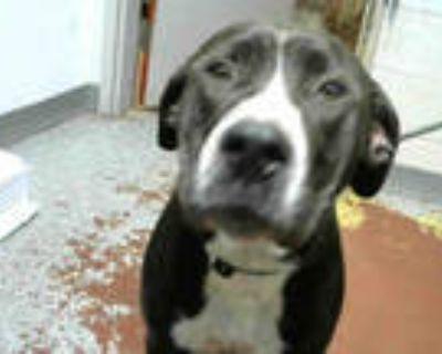 Adopt BABY a Black Labrador Retriever / Mixed dog in Atlanta, GA (31685992)