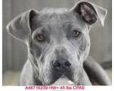 Halo, American Pit Bull Terrier For Adoption In Shreveport, Louisiana