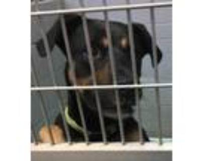 Adopt ZIA a Black Doberman Pinscher / Mixed dog in Los Lunas, NM (30594937)