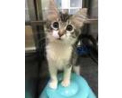 Adopt Teeny a All Black Domestic Shorthair / Domestic Shorthair / Mixed cat in