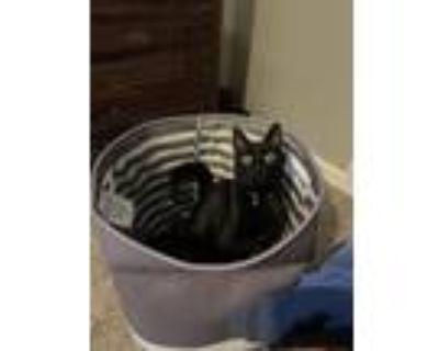 Adopt Bentley a All Black Domestic Shorthair / Mixed (short coat) cat in