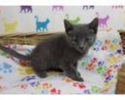 Adopt STRAWBERRY a Gray or Blue Domestic Shorthair / Mixed (short coat) cat in