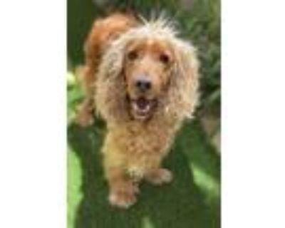 Adopt Nash a Red/Golden/Orange/Chestnut Cocker Spaniel / Mixed dog in Torrance
