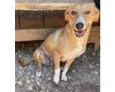 Adopt Stevie a Tan/Yellow/Fawn Beagle / Jack Russell Terrier / Mixed dog in