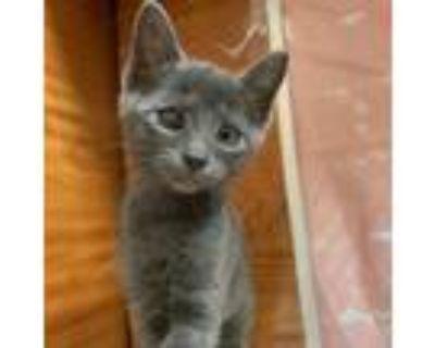 Adopt Jade a Gray or Blue Russian Blue / Mixed cat in Hemet, CA (32005736)