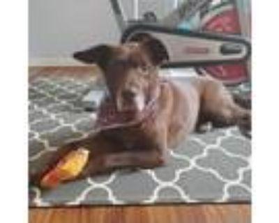 Adopt Aubrey a Chocolate Labrador Retriever