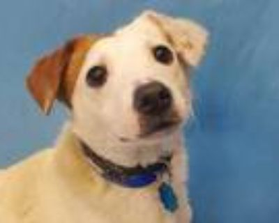 Adopt Spot a White Jack Russell Terrier / Mixed dog in Woodbury, MN (31483262)