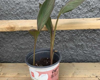 Canna Lily plant