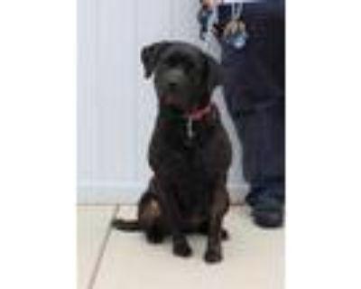 Adopt TETRIS a Brindle Labrador Retriever / Mixed dog in Louisville
