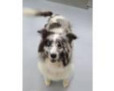 Adopt Riley a Shetland Sheepdog / Sheltie