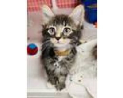 Adopt Groot a All Black Domestic Shorthair / Domestic Shorthair / Mixed cat in