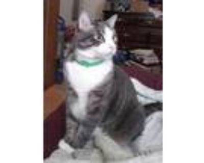 Adopt Stormy a Gray or Blue (Mostly) Domestic Shorthair / Mixed (short coat) cat