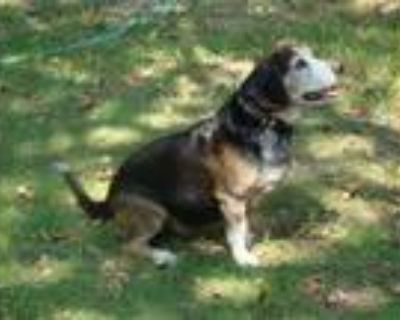 Adopt Bullet a Tricolor (Tan/Brown & Black & White) Beagle / Mixed dog in Azle