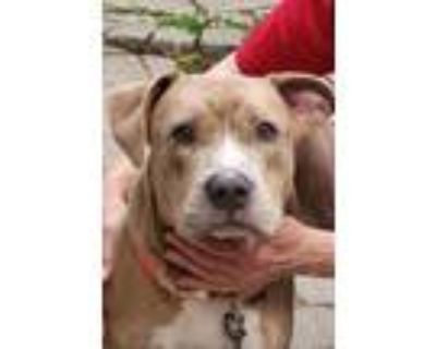 Adopt Gucci a Brown/Chocolate American Pit Bull Terrier / Mixed dog in