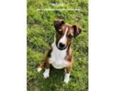 Adopt Roxie a Jack Russell Terrier