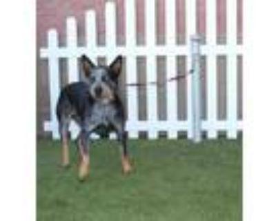 Adopt SIMONE a Australian Cattle Dog / Blue Heeler