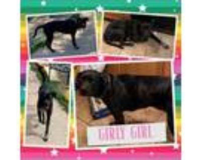 Adopt Girlie girl a Black Labrador Retriever, Border Collie