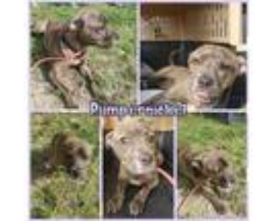Adopt Pumpernickel a Brindle - with White Boxer / Pit Bull Terrier / Mixed dog
