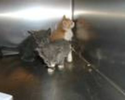 Adopt Cat a Gray or Blue Domestic Shorthair / Mixed (short coat) cat in Thousand